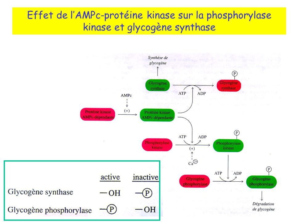 Effet de l'AMPc-protéine kinase sur la phosphorylase kinase et glycogène synthase