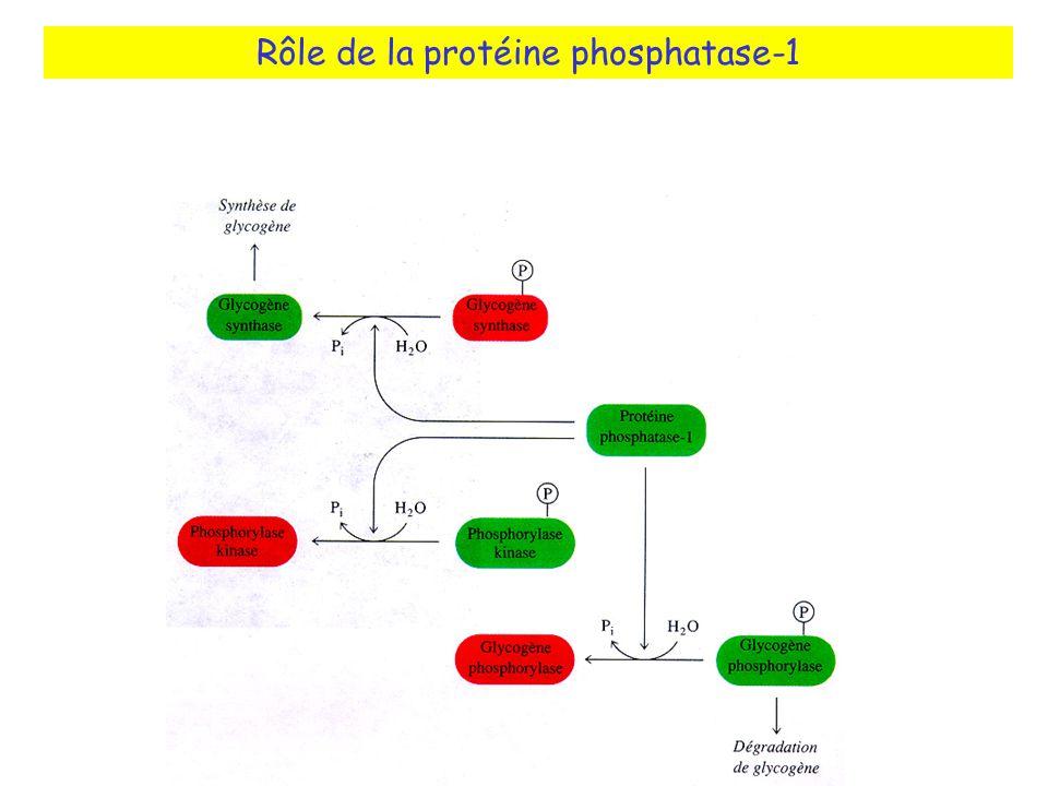 Rôle de la protéine phosphatase-1