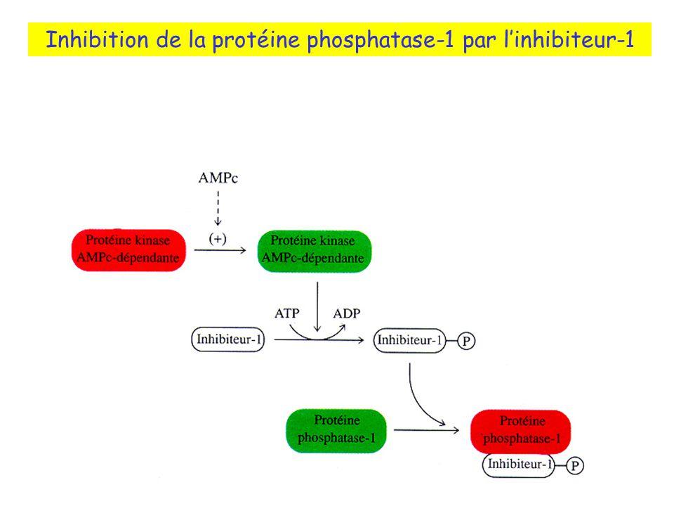 Inhibition de la protéine phosphatase-1 par l'inhibiteur-1