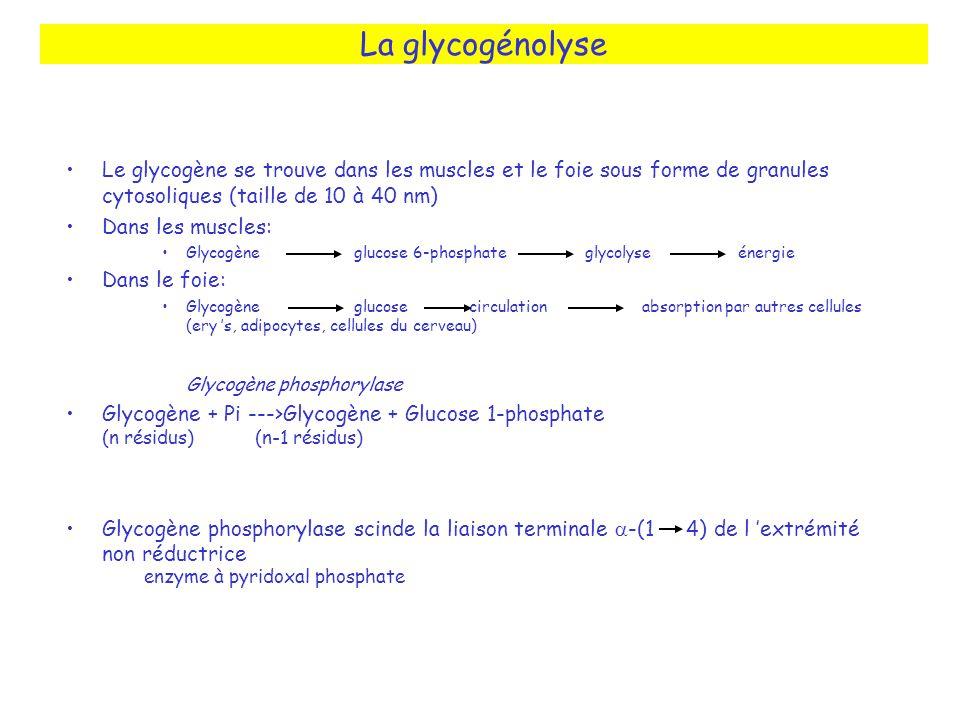 La glycogénolyse Le glycogène se trouve dans les muscles et le foie sous forme de granules cytosoliques (taille de 10 à 40 nm)