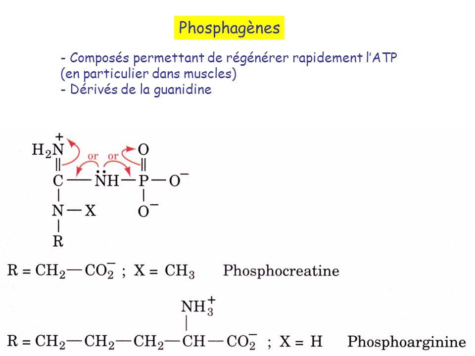 Phosphagènes - Composés permettant de régénérer rapidement l'ATP