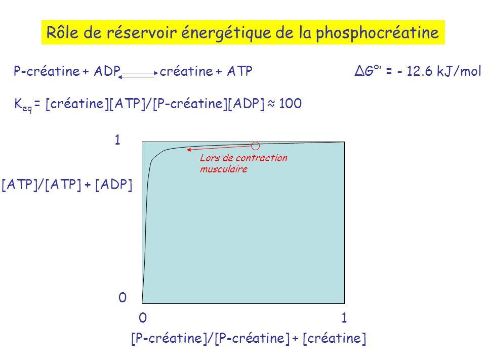 Rôle de réservoir énergétique de la phosphocréatine