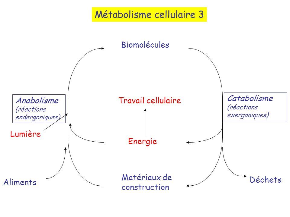 Métabolisme cellulaire 3