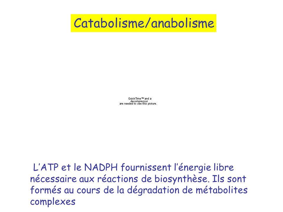 Catabolisme/anabolisme