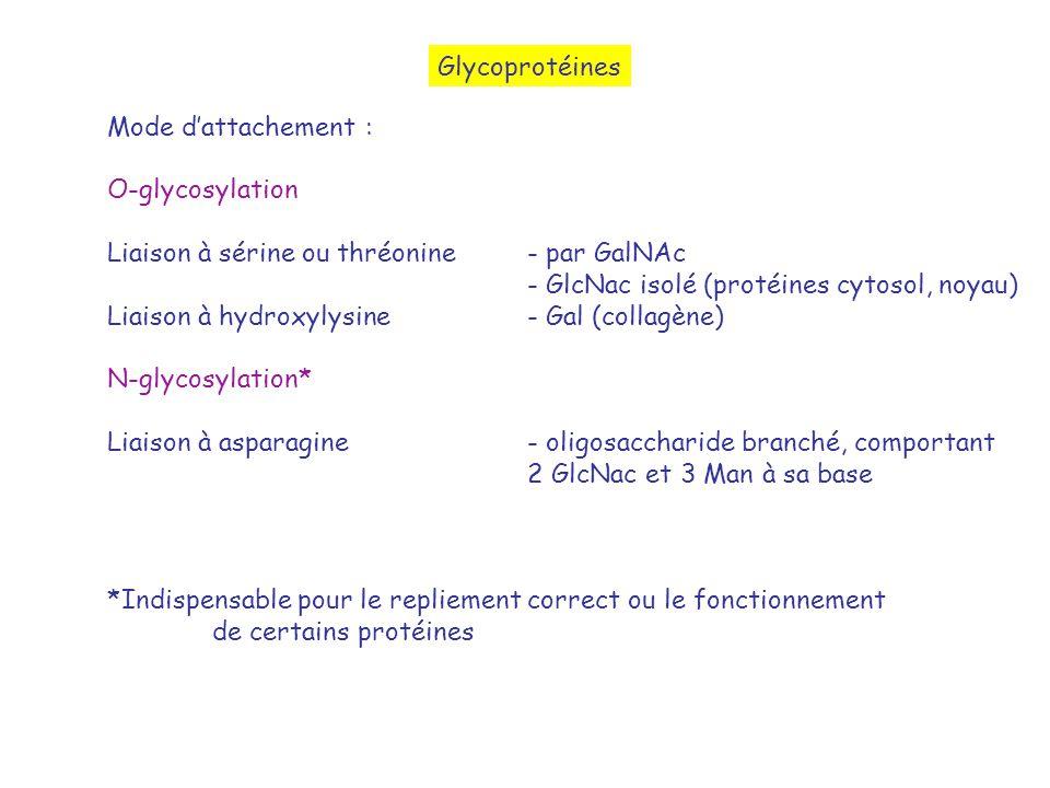 Glycoprotéines Mode d'attachement : O-glycosylation. Liaison à sérine ou thréonine - par GalNAc.