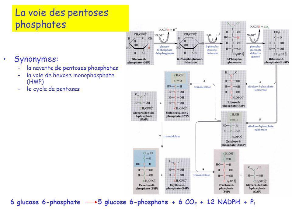 La voie des pentoses phosphates