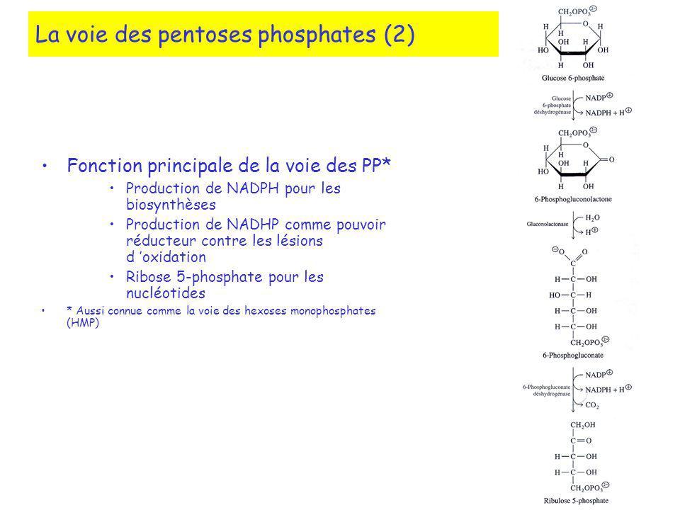 La voie des pentoses phosphates (2)