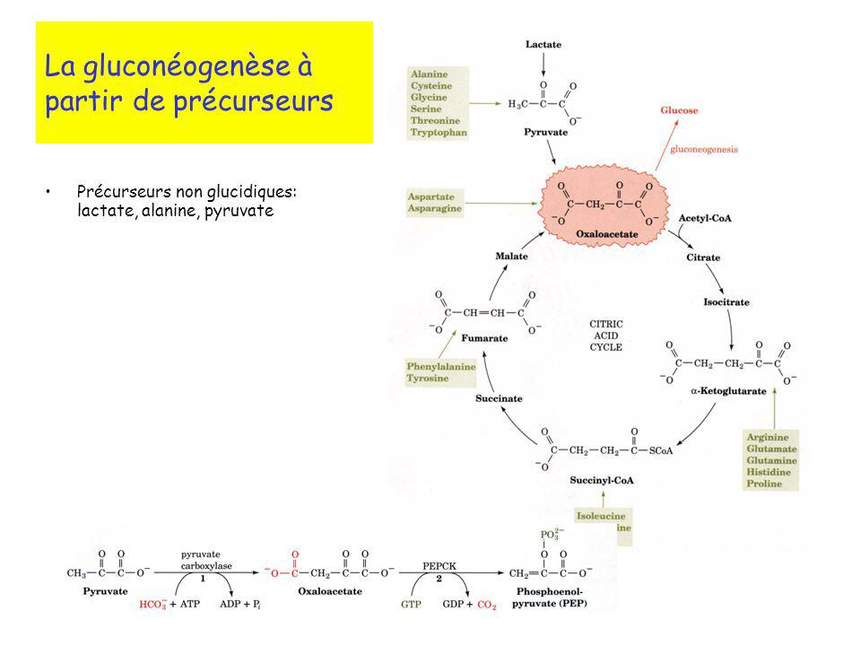 La gluconéogenèse à partir de précurseurs
