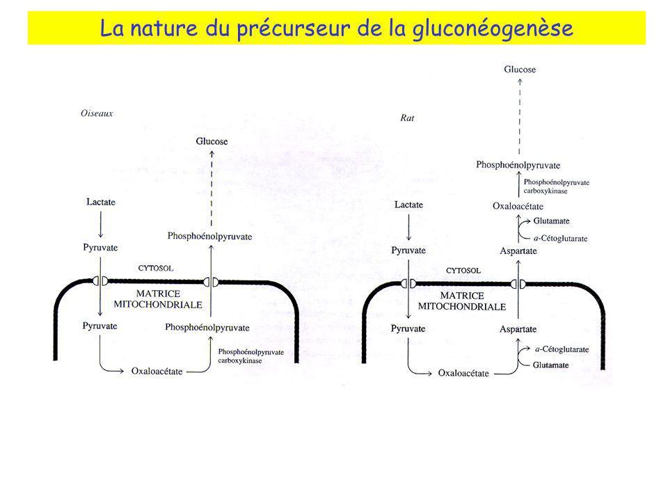 La nature du précurseur de la gluconéogenèse
