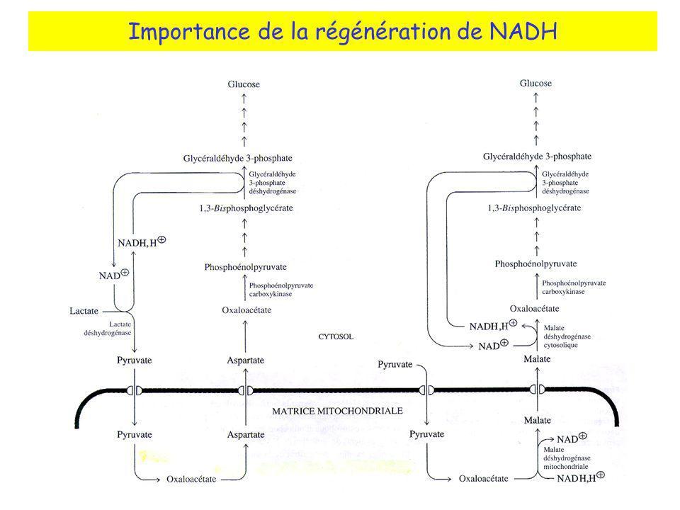 Importance de la régénération de NADH