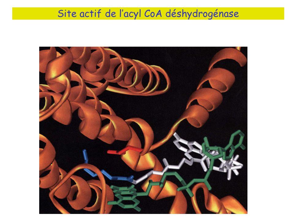 Site actif de l'acyl CoA déshydrogénase