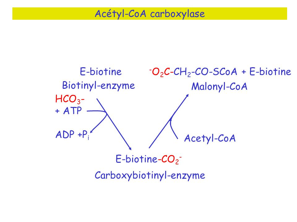 Acétyl-CoA carboxylase