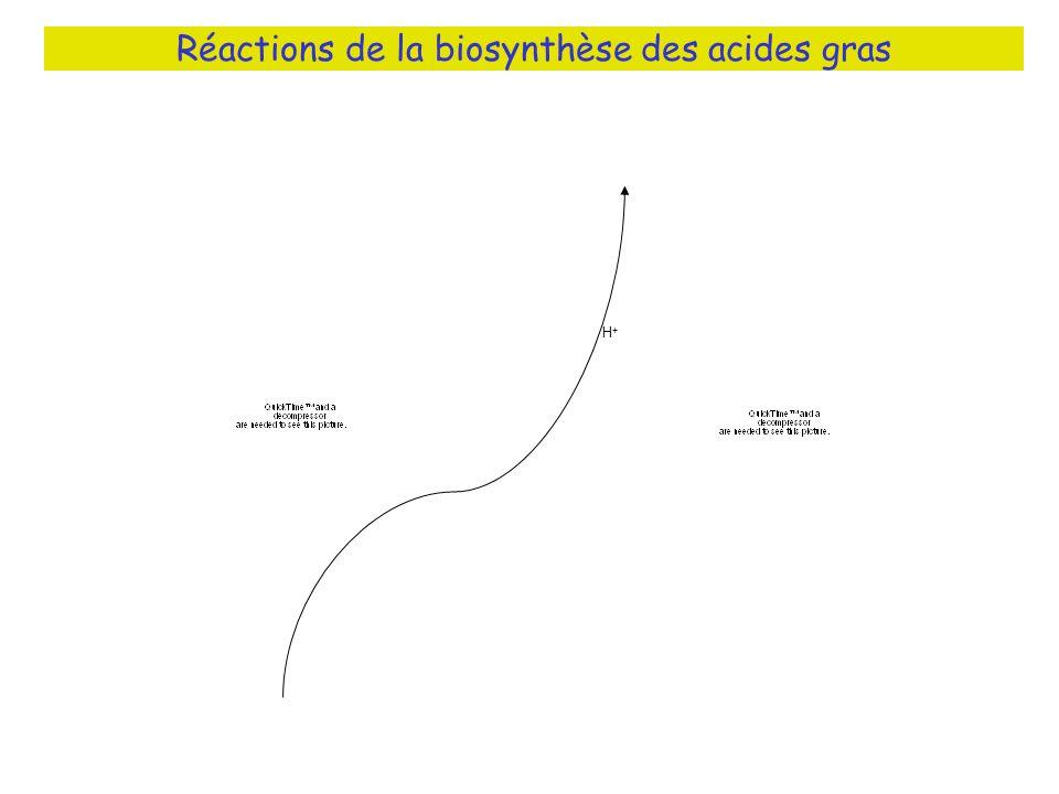 Réactions de la biosynthèse des acides gras