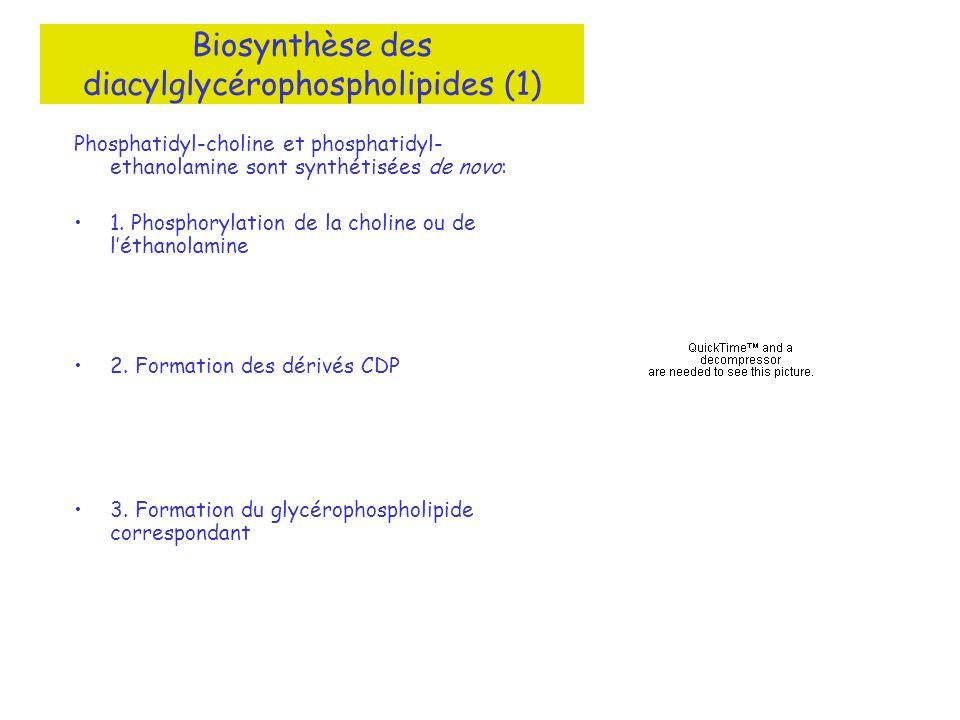 Biosynthèse des diacylglycérophospholipides (1)