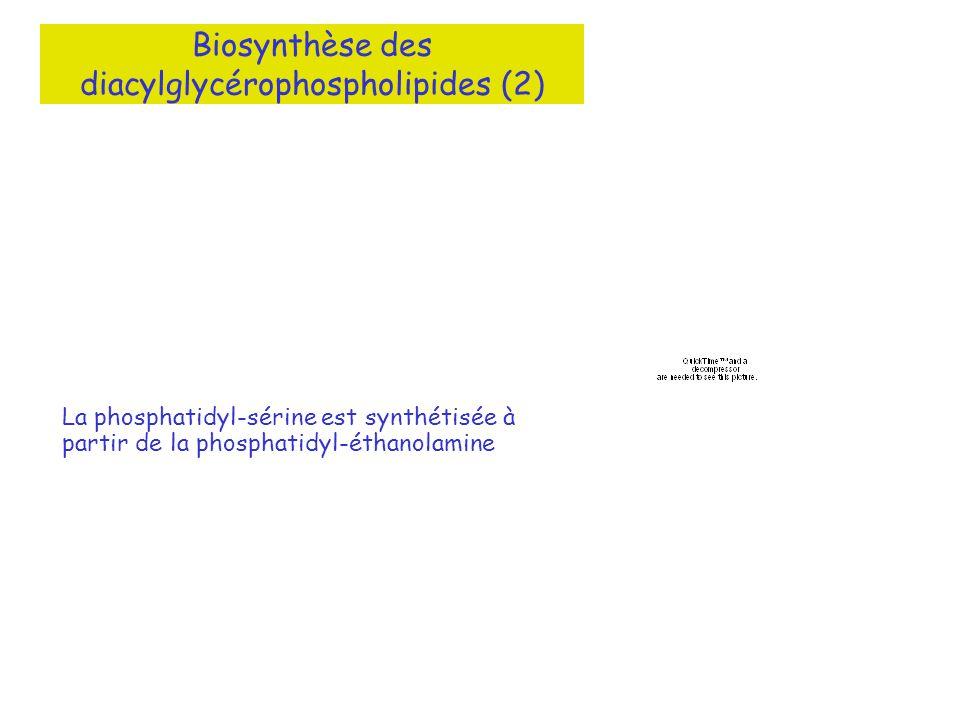 Biosynthèse des diacylglycérophospholipides (2)