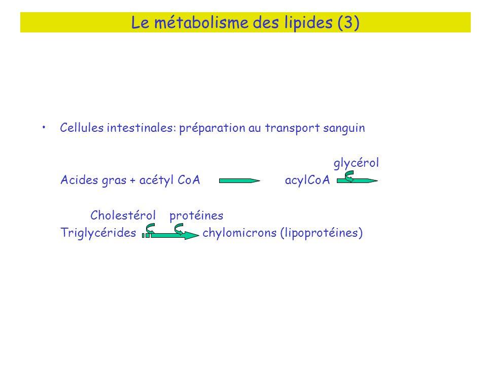 Le métabolisme des lipides (3)