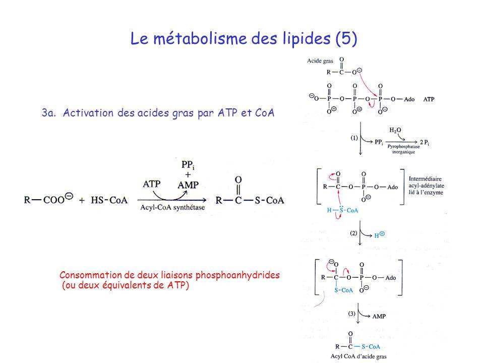 Le métabolisme des lipides (5)