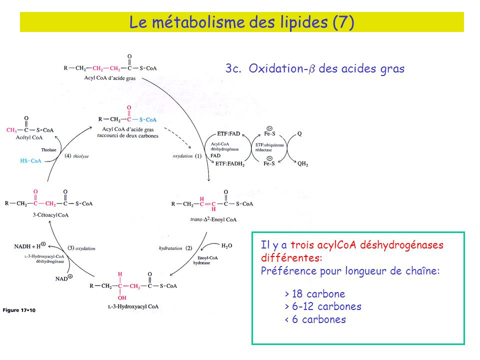 Le métabolisme des lipides (7)