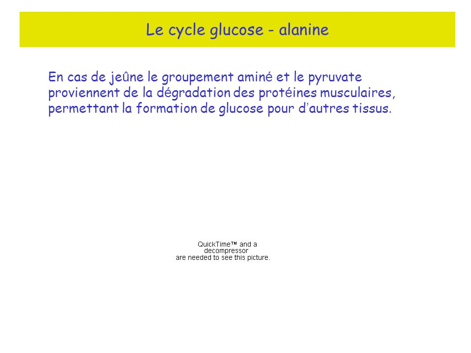 Le cycle glucose - alanine