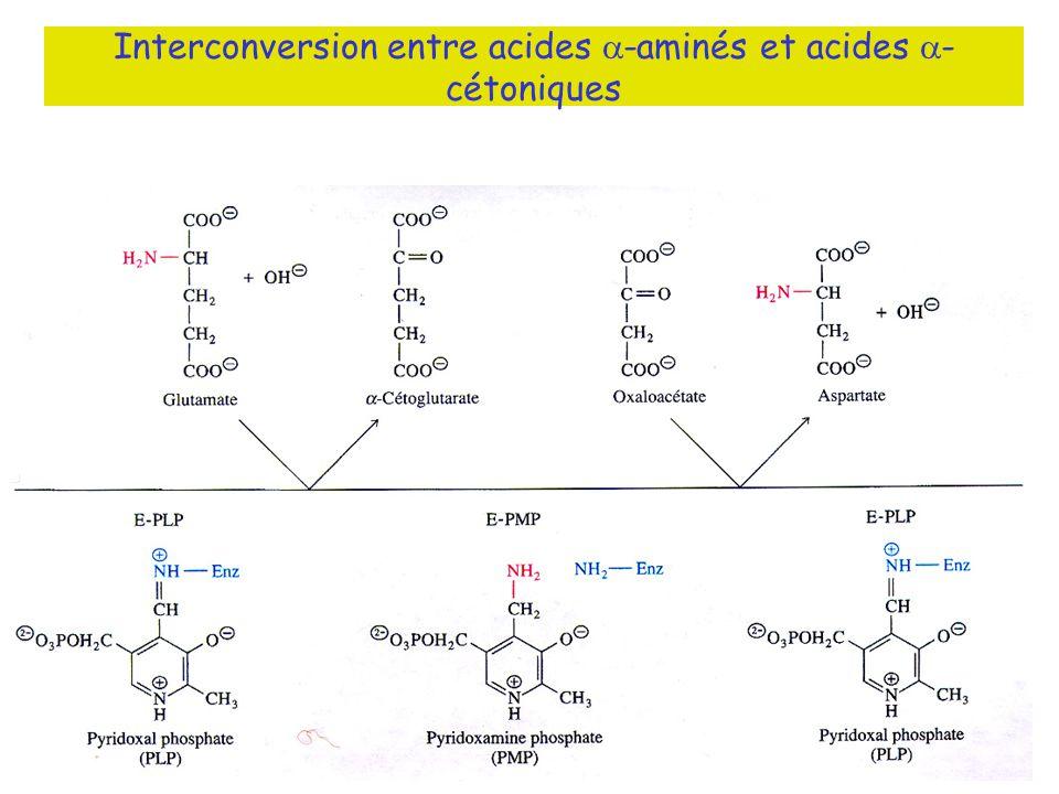 Interconversion entre acides a-aminés et acides a-cétoniques