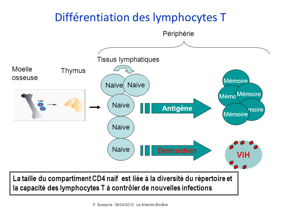 Différentiation des lymphocytes T