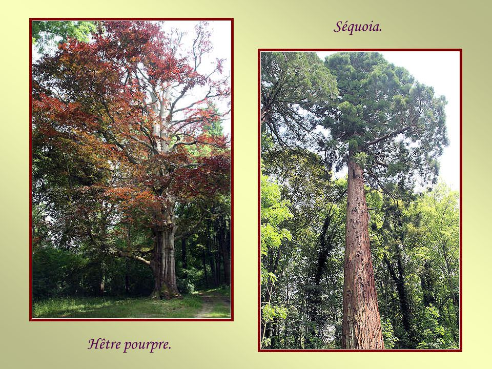 Séquoia. Hêtre pourpre.