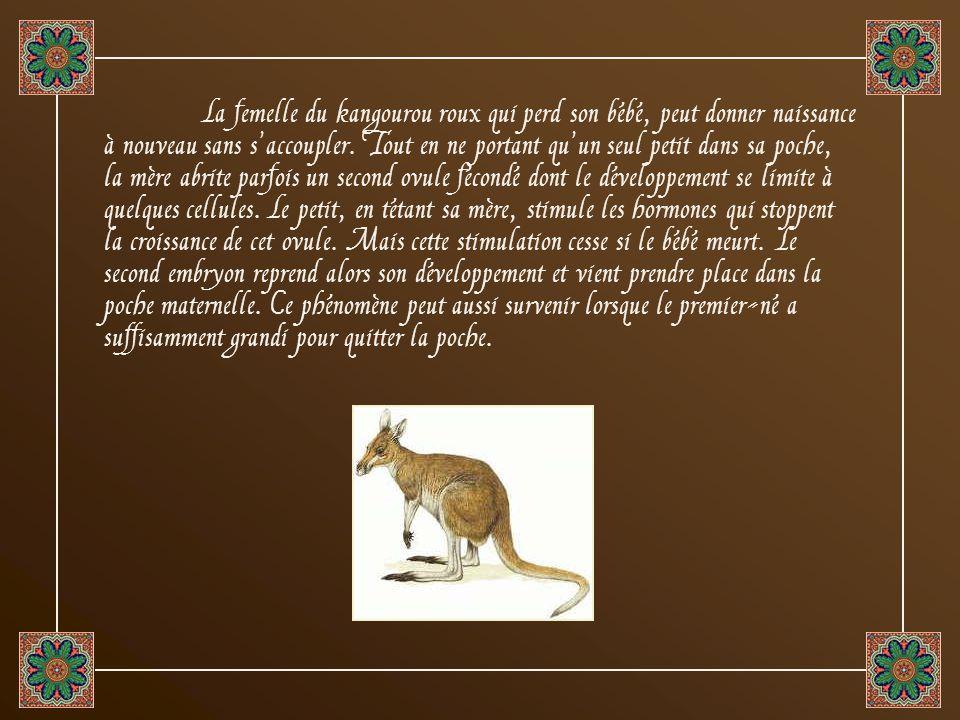 La femelle du kangourou roux qui perd son bébé, peut donner naissance à nouveau sans s'accoupler.