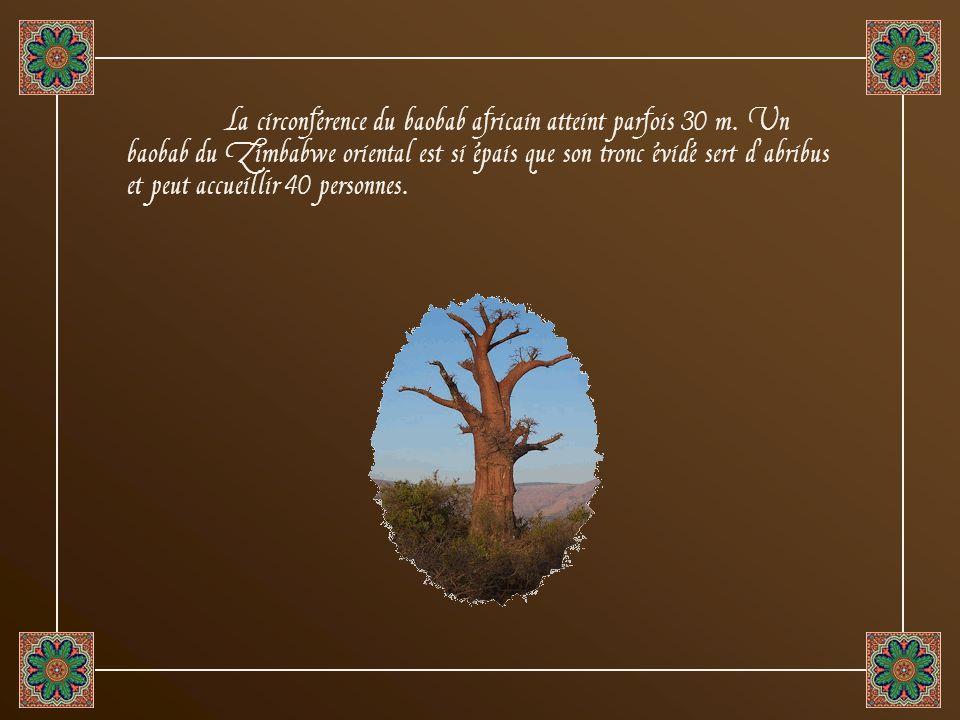 La circonférence du baobab africain atteint parfois 30 m