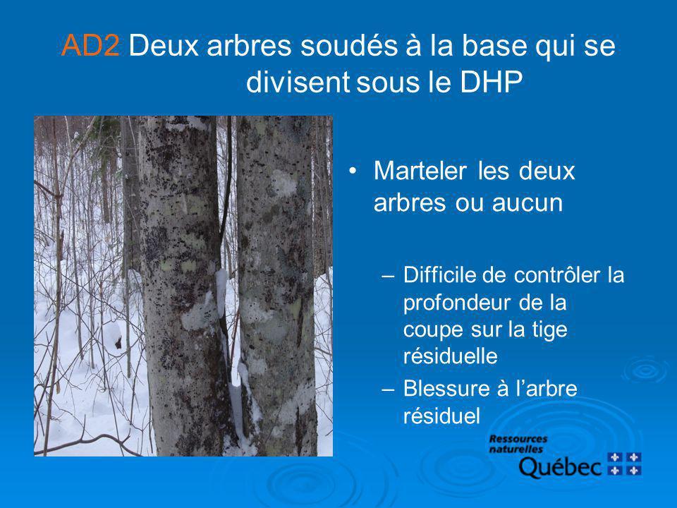AD2 Deux arbres soudés à la base qui se divisent sous le DHP