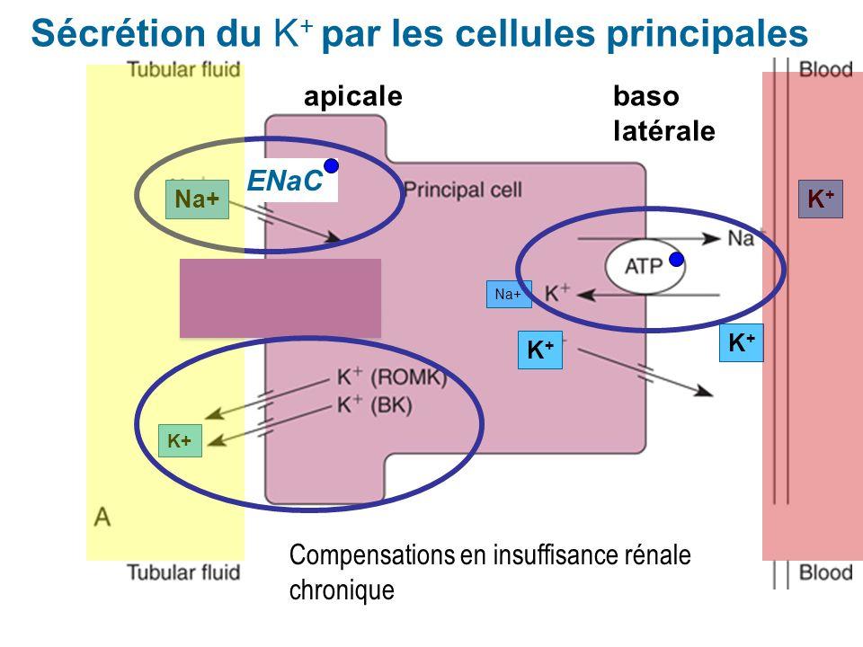 Sécrétion du K+ par les cellules principales
