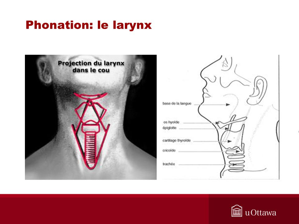Phonation: le larynx Source trouvée