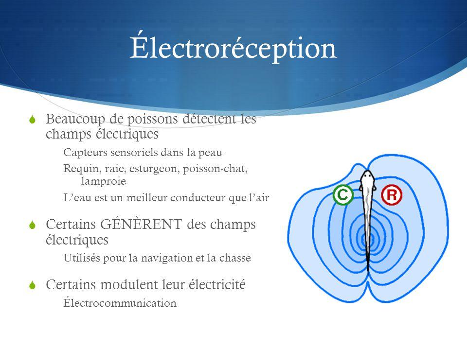 Électroréception Beaucoup de poissons détectent les champs électriques