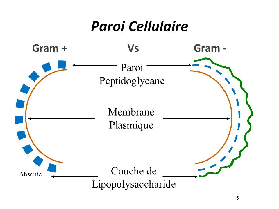 Paroi Cellulaire Gram + Vs Gram - Paroi Peptidoglycane Membrane
