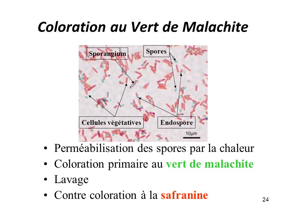 Coloration au Vert de Malachite