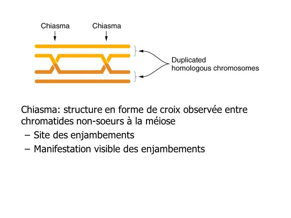 Chiasma: structure en forme de croix observée entre chromatides non-soeurs à la méiose