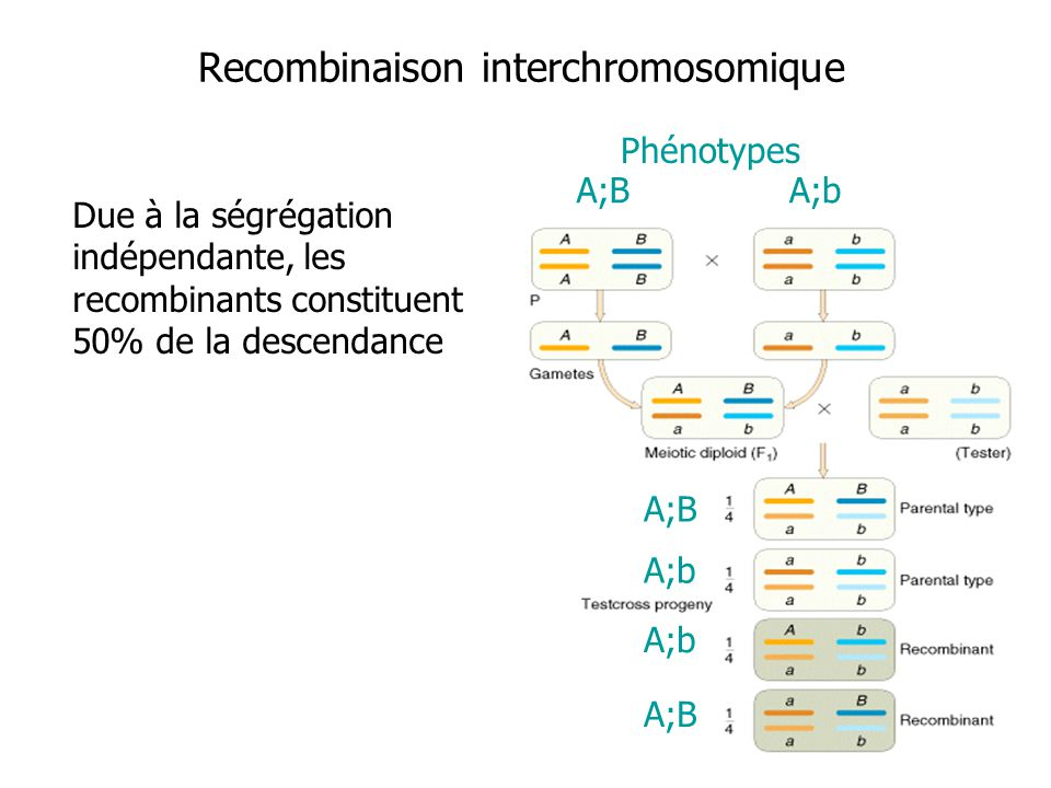 Recombinaison interchromosomique