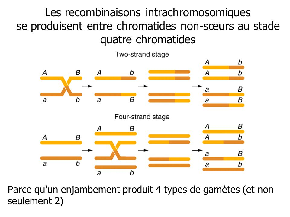Les recombinaisons intrachromosomiques se produisent entre chromatides non-sœurs au stade quatre chromatides