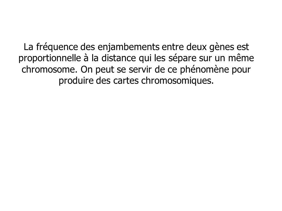 La fréquence des enjambements entre deux gènes est proportionnelle à la distance qui les sépare sur un même chromosome.