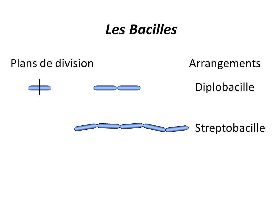 Les Bacilles Plans de division Arrangements Diplobacille