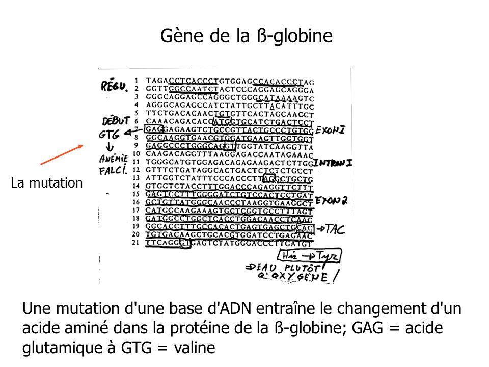 Gène de la ß-globine La mutation.