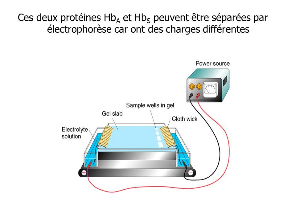 Ces deux protéines HbA et HbS peuvent être séparées par électrophorèse car ont des charges différentes