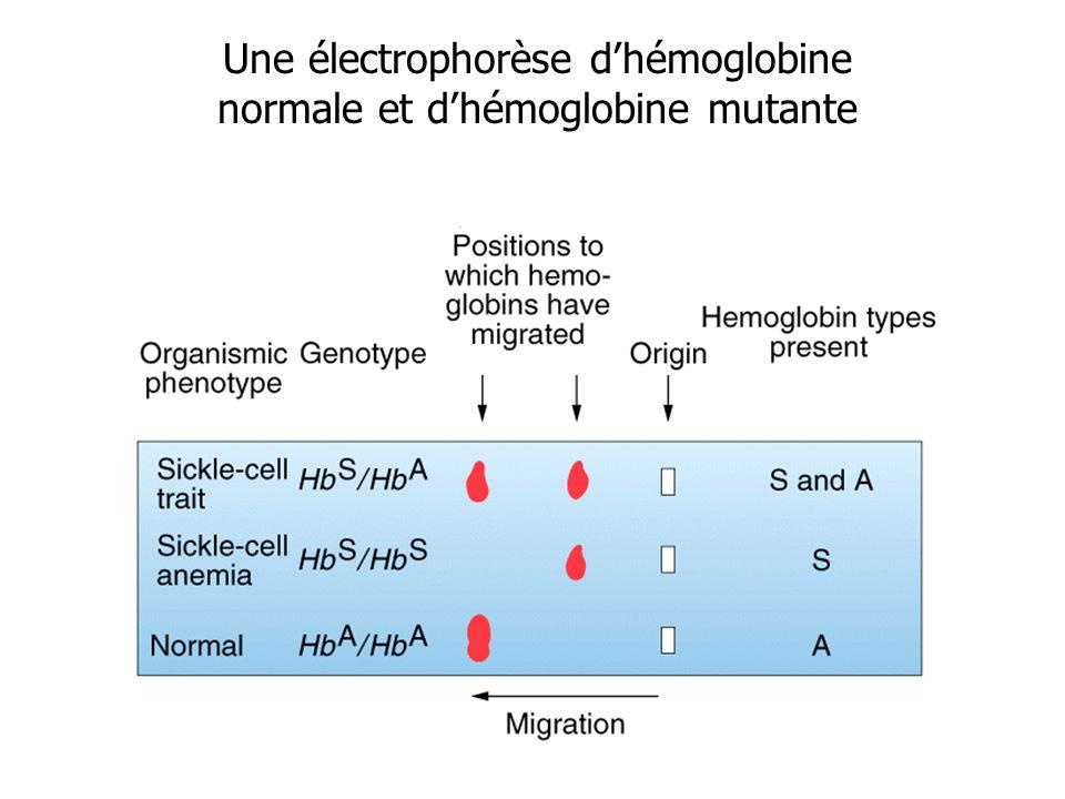 Une électrophorèse d'hémoglobine normale et d'hémoglobine mutante