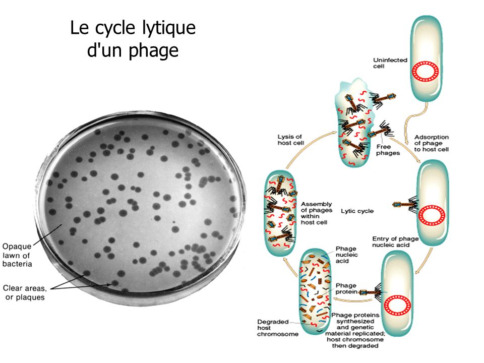 Le cycle lytique d un phage