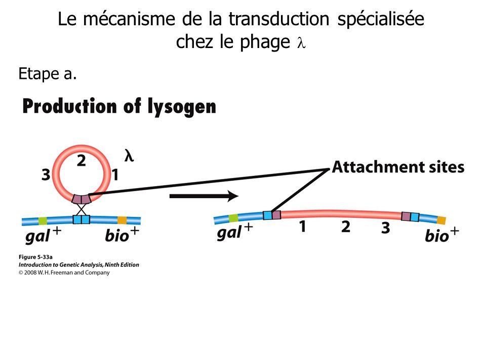 Le mécanisme de la transduction spécialisée chez le phage 