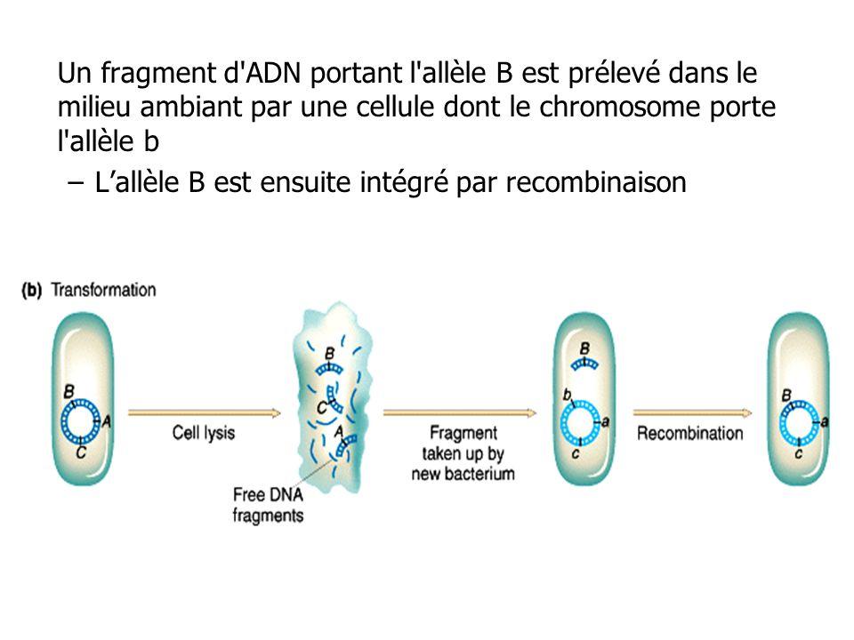 Un fragment d ADN portant l allèle B est prélevé dans le milieu ambiant par une cellule dont le chromosome porte l allèle b
