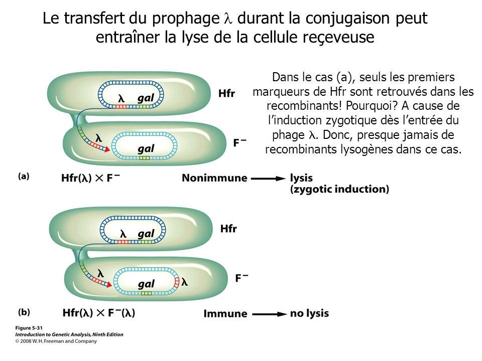 Le transfert du prophage  durant la conjugaison peut entraîner la lyse de la cellule reçeveuse