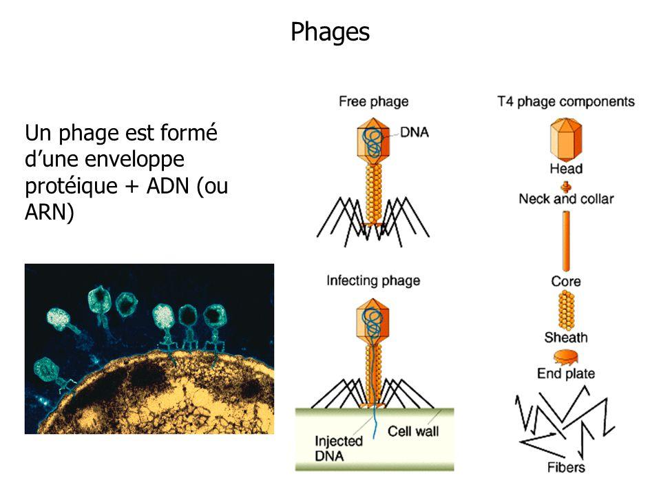 Phages Un phage est formé d'une enveloppe protéique + ADN (ou ARN)