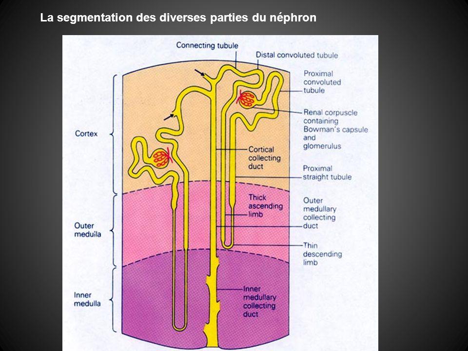 La segmentation des diverses parties du néphron