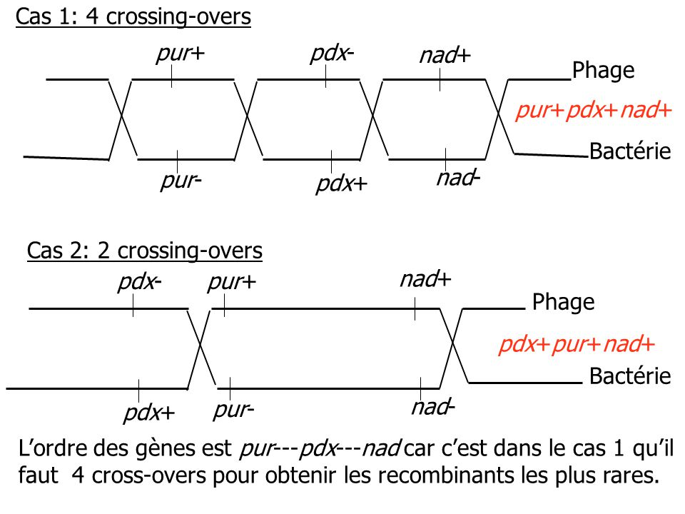 Cas 1: 4 crossing-overs pur+ pdx- nad+ Phage. pur+pdx+nad+ Bactérie. pur- nad- pdx+ Cas 2: 2 crossing-overs.