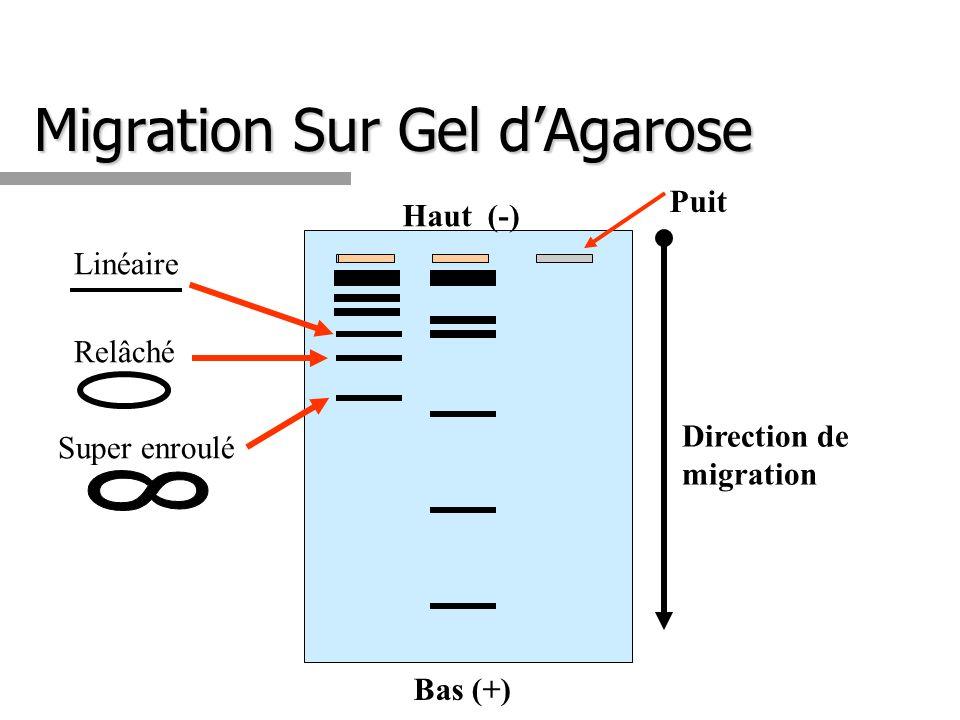 Migration Sur Gel d'Agarose